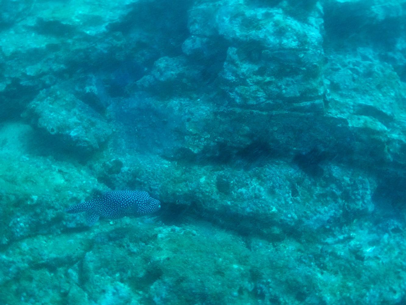 Un pez de gran tamaño que vimos buceando en Costa Rica