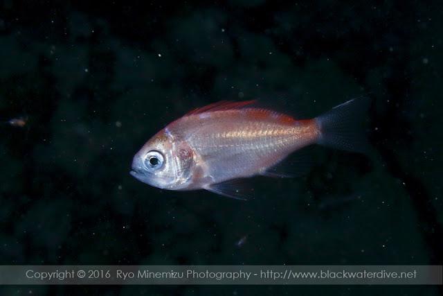 ハナダイ亜科の稚魚