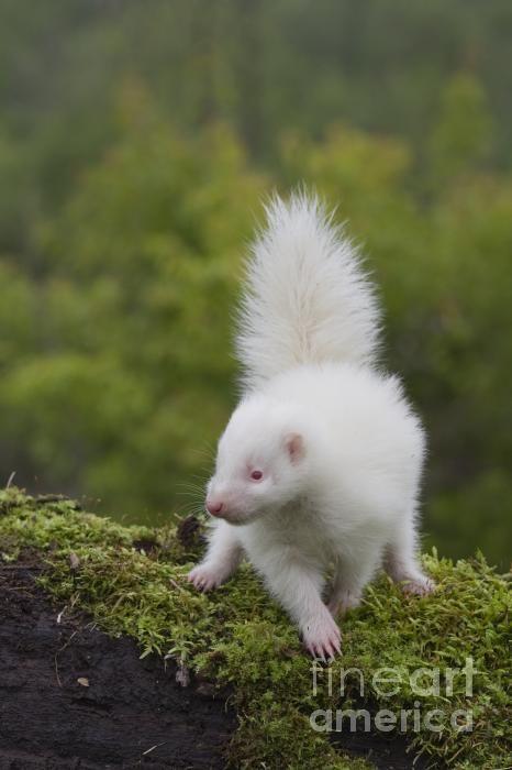 Skunk | A-Z List of 125 Rare Albino Animals [Pics]