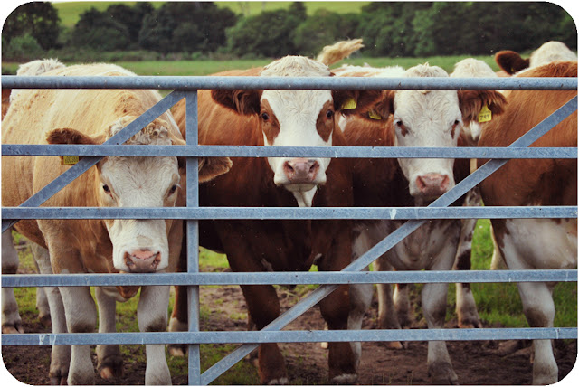 Cows - Aberdeenshire countryside
