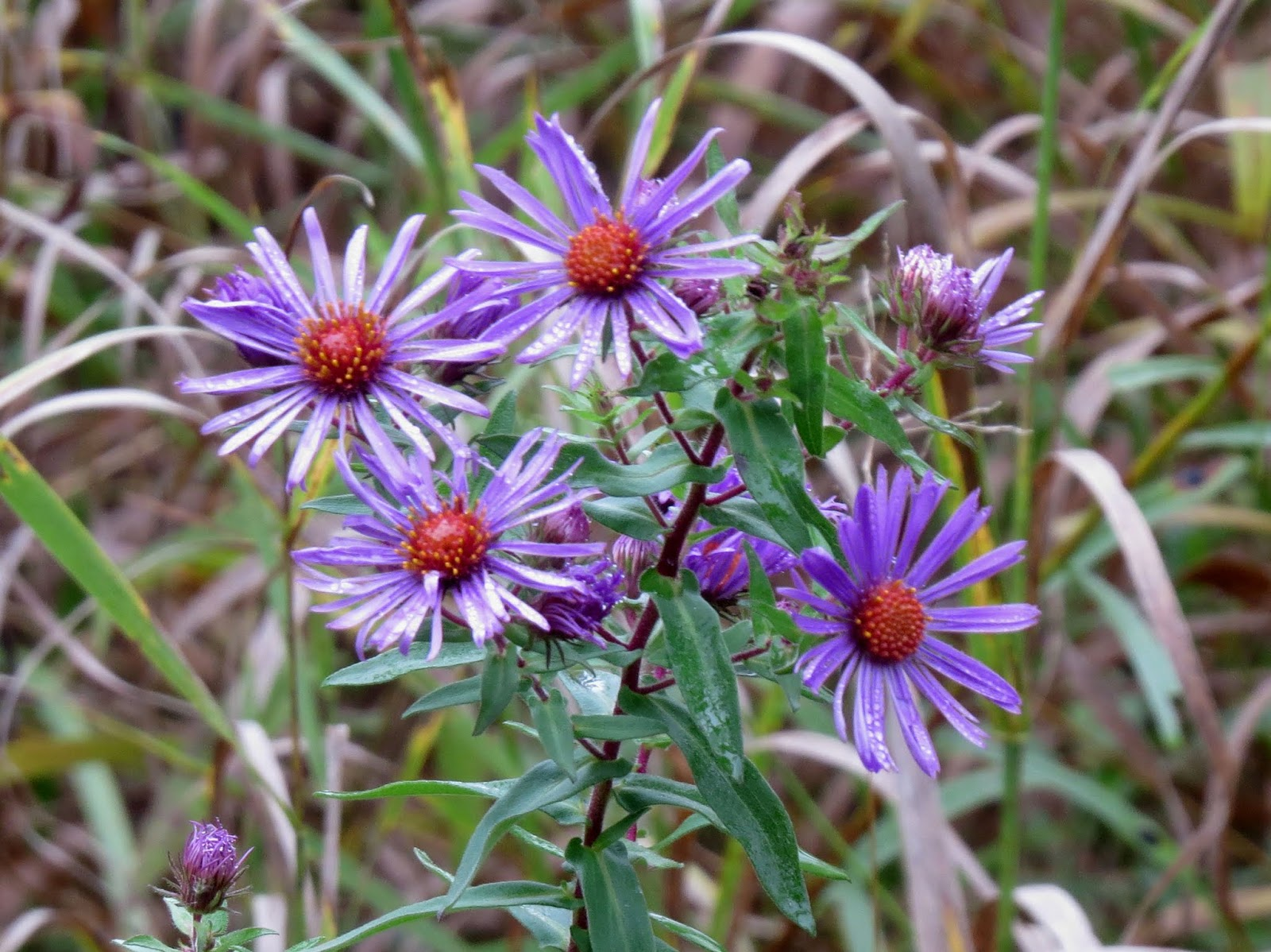 New England Aster on the North Eastern State Trail