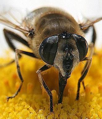 Foto de abeja absorviendo la miel de una flor