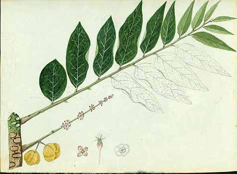 Phyllanthus acidus, czyli liściokwiat kwaśny, ciekawa i mało znana roślina tropikalna podobna do karamboli. Nazwa, pochodzenie, występowanie, historia, wygląd, jadalne owoce, smak, kwitnienie. Dziwne owoce egzotyczne. Liściokwiat, roślina uźytkowa, lecznicza.