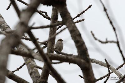 ニュウナイスズメ ≪Russet Sparrow≫