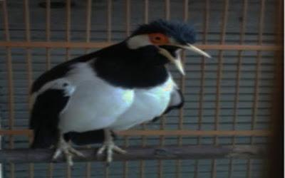 Tips merawat burung jalak suren