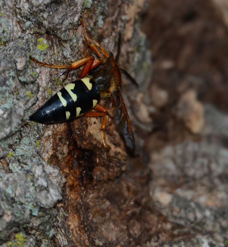 Red And The Peanut: Holy Cow...a Cicada Killer Wasp