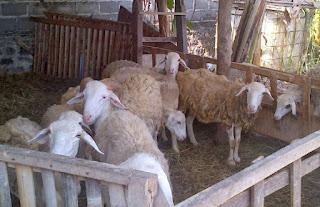Peluang Usaha Ternak Domba Garut