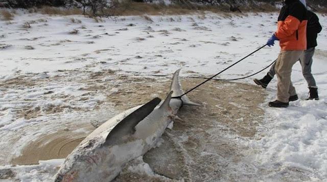 Απίστευτο... Πάγωσαν μέχρι θανάτου και οι καρχαρίες στις Ηνωμένες Πολιτείες! Πρωτοφανείς καταστάσεις από το πολικό ψύχος