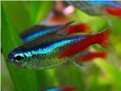 Ikan Hias Kecil Jenis Tetra