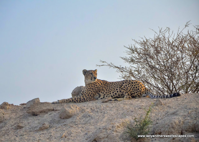 cheetah in Sir Bani Yas Island