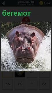 Воду рассекает бегемот и брызги в разные стороны, на большой скорости двигается вперед
