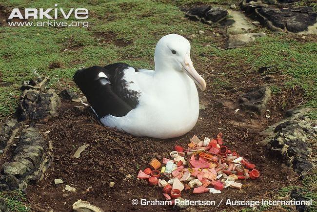 albatros real del norte Diomedea sanfordi