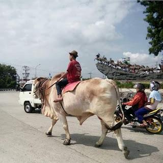 Boyolali memang terkenal dan identik dengan sapi