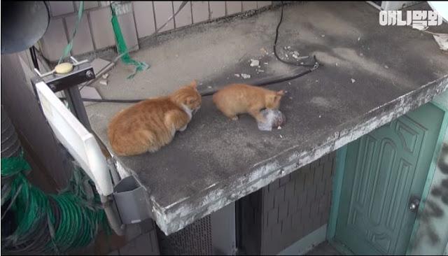 Kucing Ini Tidak Tahu Dia Dipantau Lewat Kamera, Apa Yang Dia Lakukan Setelah Diberi Makan Akan Melelehkan Hati Kamu...