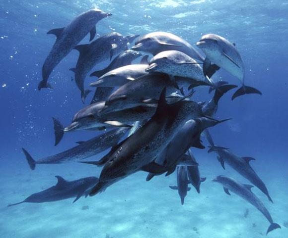 بالصور والفيديو :- معلومات عن الدلافين atlantic-spotted-dol