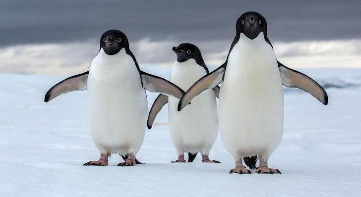 Mengapa Penguin Kadang Bertengkar dengan Sesamanya?