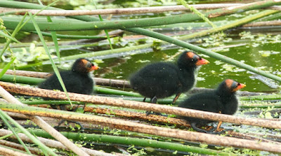 Common Gallinule (Gallinula galeata