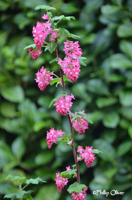 My Favorite Plant This Week Red Flowering Currant