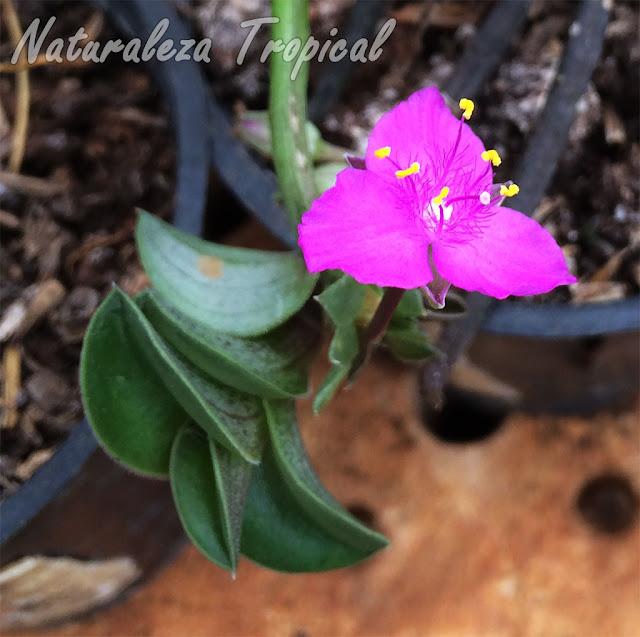 Detalles de la flor de la planta suculenta Tradescantia navicularis (sin. Callisia navicularis)