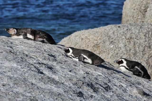 Pingüinos africanos tomando el invernal sol de Sudafrica