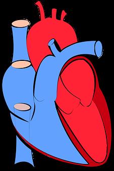 Anatomi dan Sirkulasi Perdarahan Organ Jantung