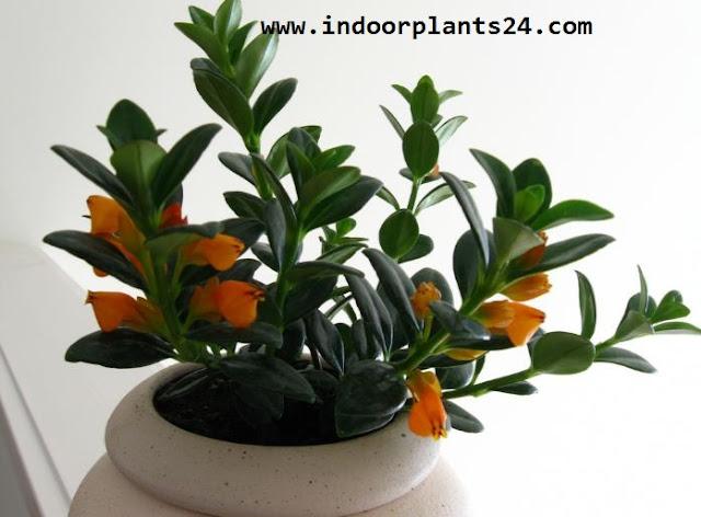 GOLDFISH PLANT  IMAGE