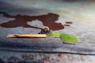 ett fotografi av en humla, tagen framifrån. Den ligger på plåt och tungan kan skönjas. Mer detaljer av bilden beskrivs i texten nedan så här slutar syntolkningen