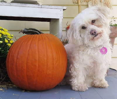The many health benefits of pumpkin for pets.  #pethealth #dogs