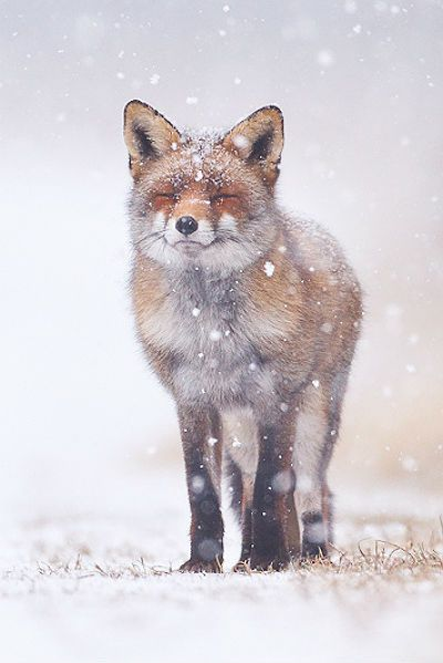 Beautiful winter scene with fox with eyes closed in snow