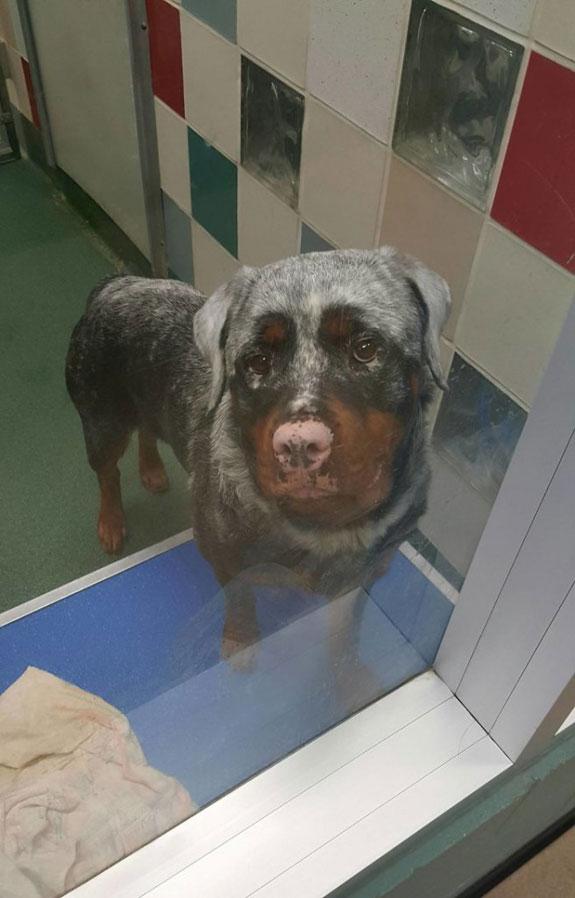 Perro con vitiligo-3