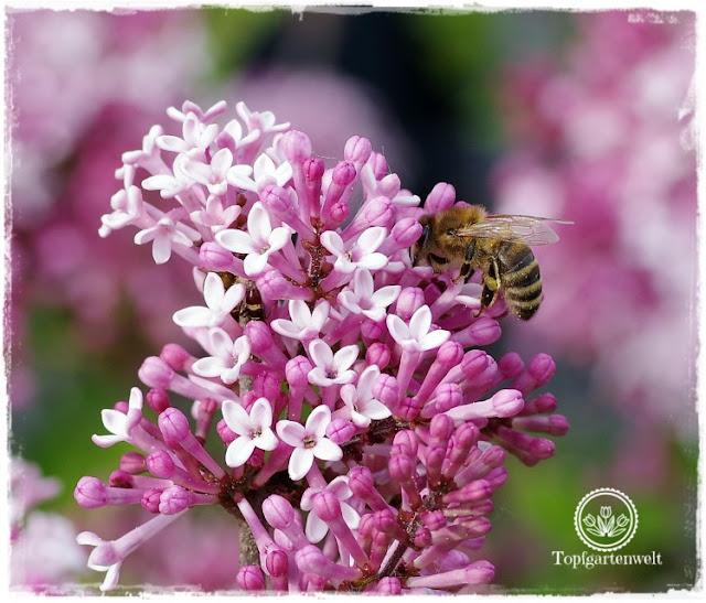 Gartenblog Topfgartenwelt Buchtipp Makrofotografie - die große Fotoschule: Makrofotografie Fokuseinstellungen - Biene auf Flieder