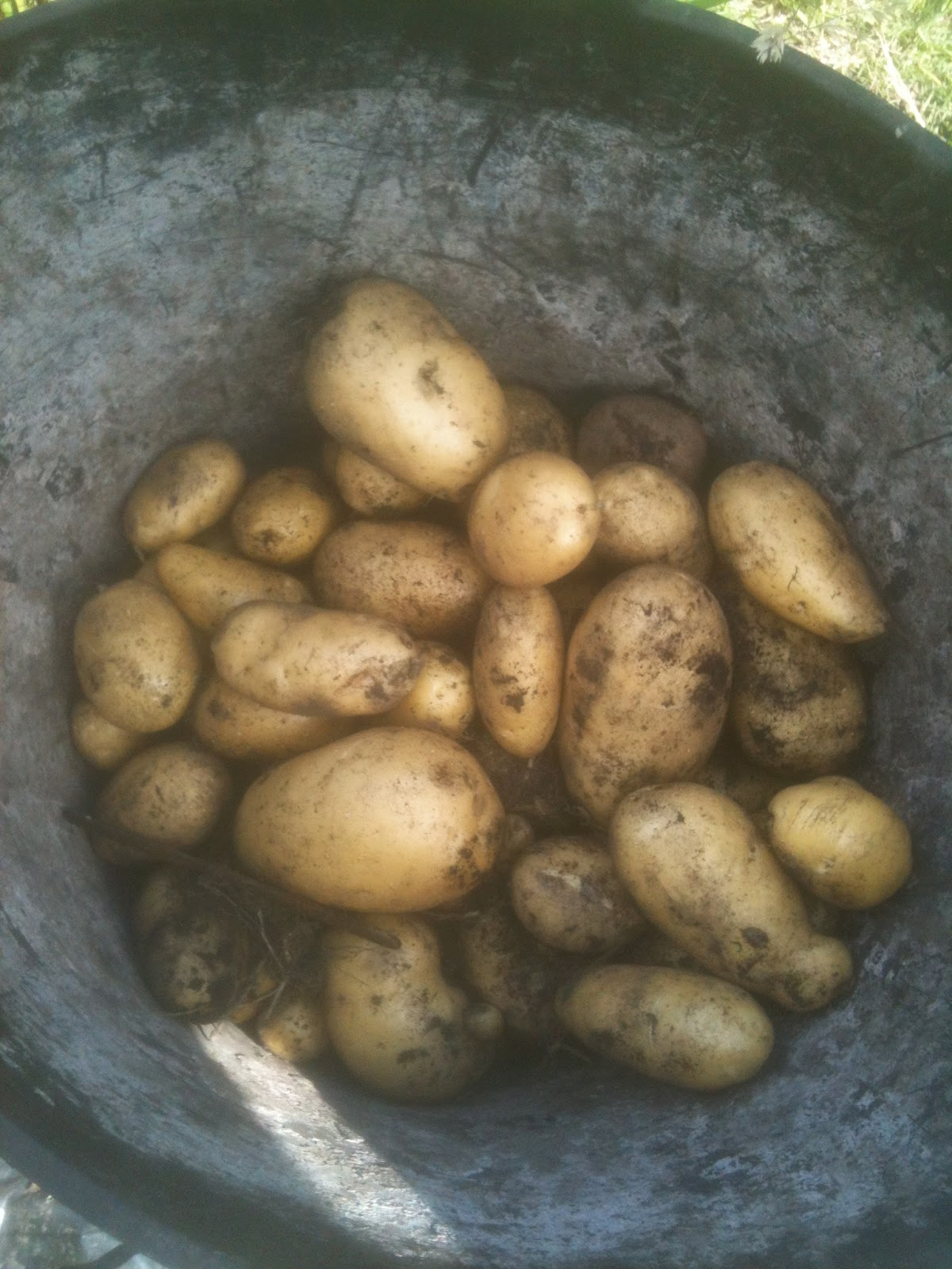 One container yield of spuds.