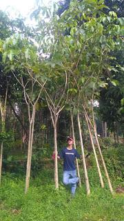 Jual pohon tabibuya rosea harga murah