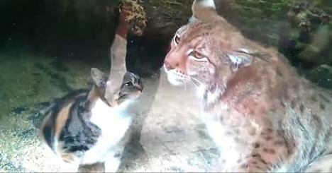 Un chat tombe dans la cage d'un lynx. Sa réaction impressionne le monde entier.
