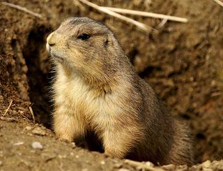Cara Memelihara Prairie Dog