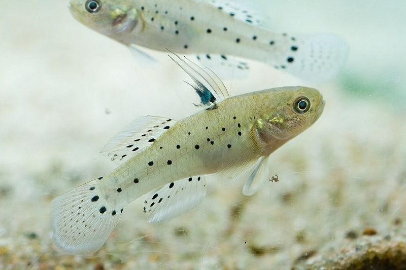 Gambar Ikan Hias Air Payau-Knight goby