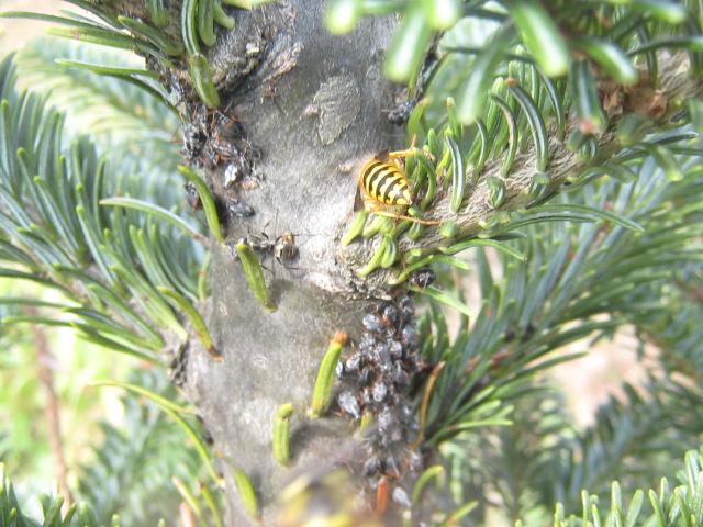 Christmas Tree Aphids.Fraser Fir Ipm Cinara Aphids