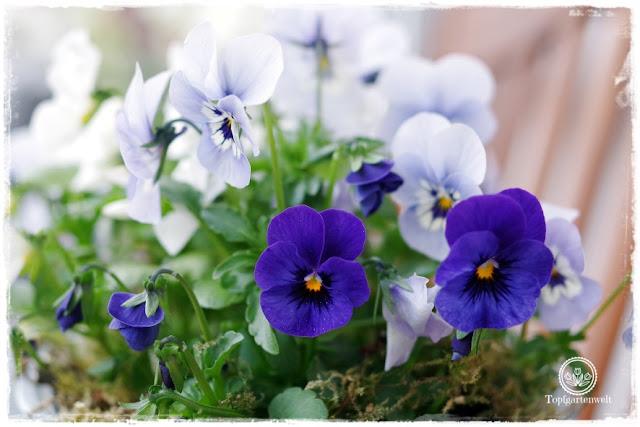 Gartenblog Topfgartenwelt Ostern: Hornveilchen als Blumenschmuck