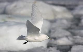 Ivory Gull in flight