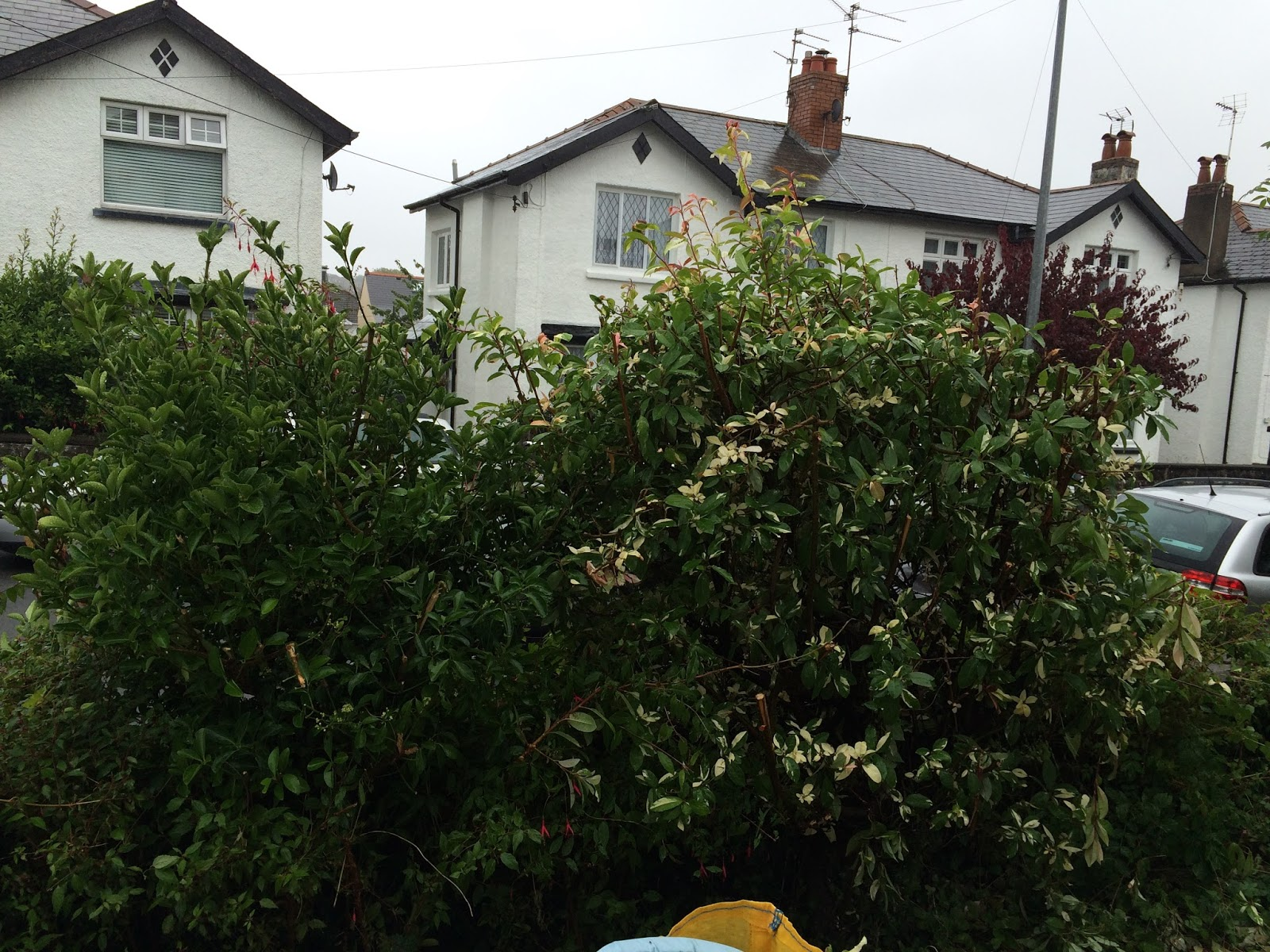 garden clean up - overgrown bushes at the front of the house