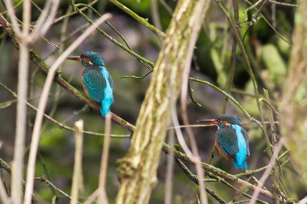 Two female Common Kingfisher - Loughton Valley Park, Milton Keynes
