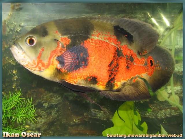gambar ikan dari huruf O oscar