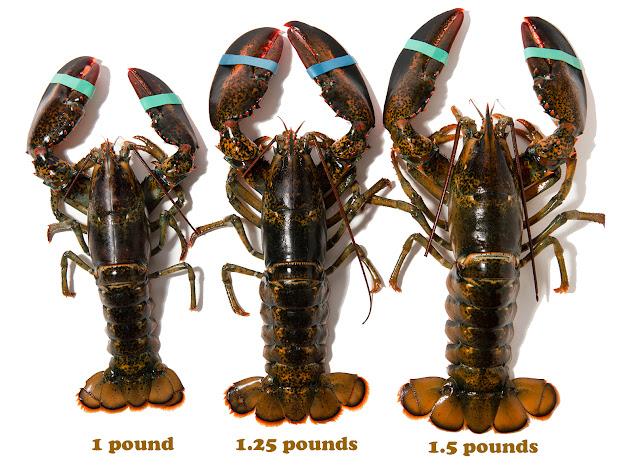 proses penggemukan pembesaran lobster