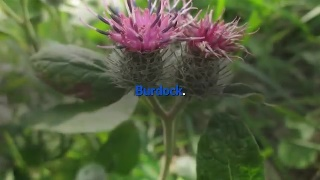 Burdock Burdock is used for its detoxifying and anti-bacterial properties.