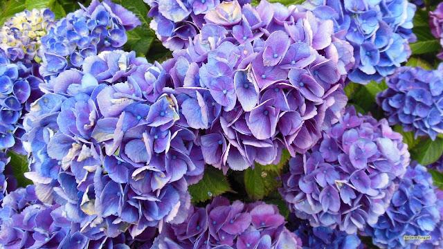 Wallpaper met een blauw paarse hortensia