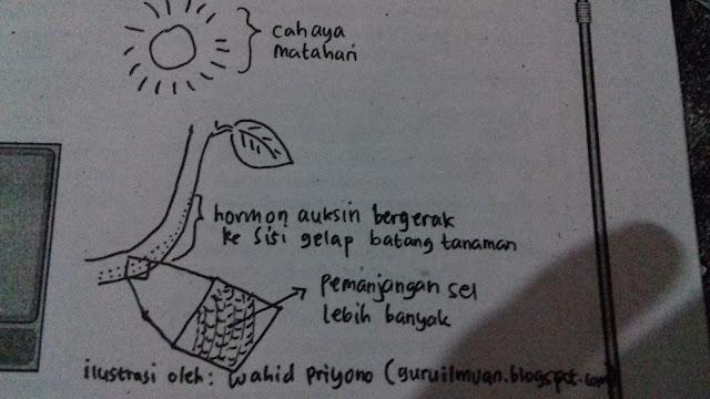 Ilustrasi Kerja Hormon Auksin Pada Batang Tanaman Jika Terkena Cahaya Matahari