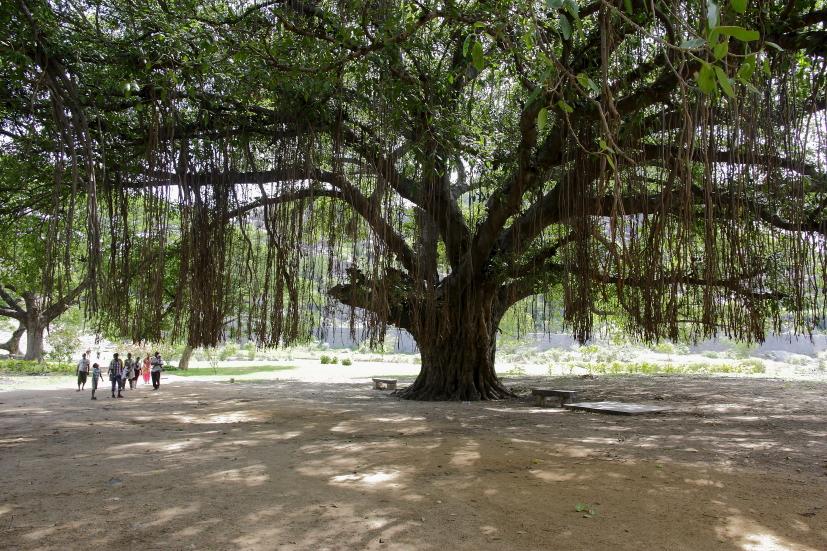 banyan inde arbre