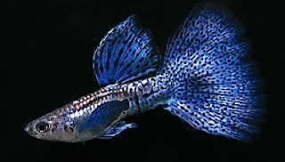 Gambar Guppy jenis Grass Blue