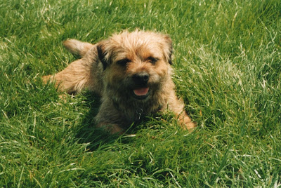 border terrier smiling in the grass