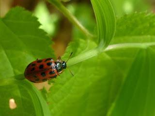 Chrysomèle du peuplier baumier - Chrysomela walshi